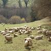 A_aubusson_moutons_1