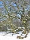 A_arbre_vieux_chene_sous_la_neige