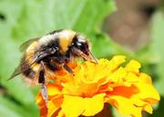 Bee_3