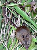 Mouse150r