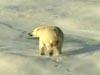 A_polar_bear