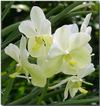 Orchid_big_2