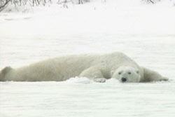 A_oil_on_ice_polar_bear_1
