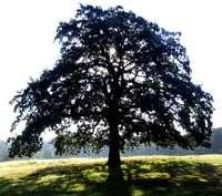 Sacred_tree_1
