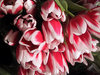 A_tulips_by_julie
